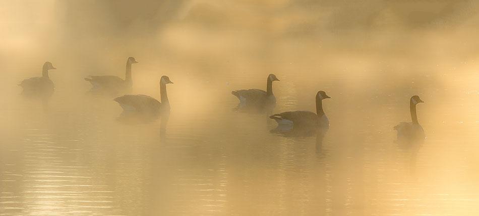 16-Fog_Pond_Geese