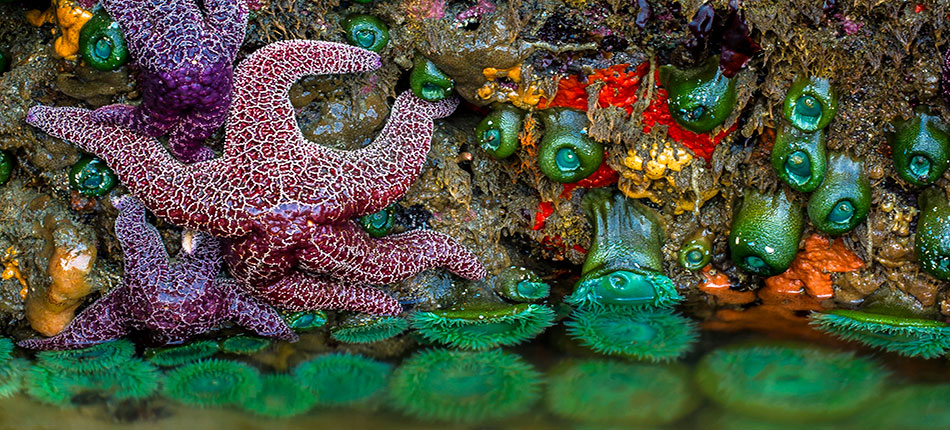 Oregon Coast Starfish Strawberry Hills